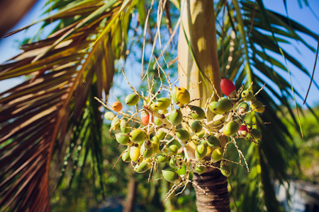 Palm seed bunch Phoenix roebelenii asian tropical oil