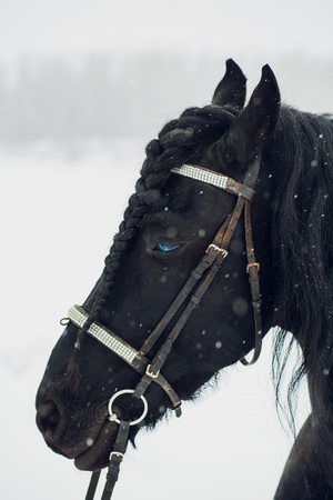 Friesian stallion running in winter field. Horse