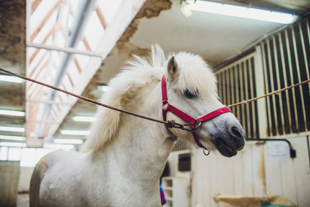 Portrait of white pony with beautiful mane in the stables