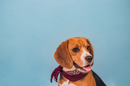young puppy, beagle dog, blue background, neck red shawl on neck Stock Photo