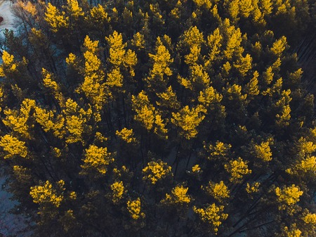 Flying over the pine forest. aerial survey. snow trees