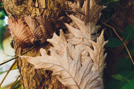 Macro of nearly skeletonized dry dead maple leaf in process of rotting, sticking on a tree trunk.