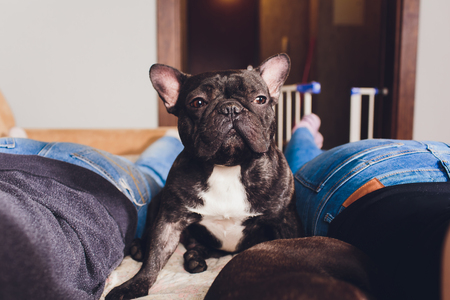 French bulldog sitting on couch - horizontal dog. Фото со стока