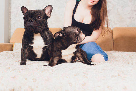 Portrait of three adorable french bulldog looking in one direction.