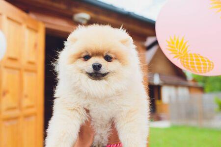 Small dog breed Pomeranian Spitz on the hand. Stockfoto