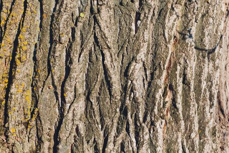 Bark of old big oak tree texture in black and white. Abstract background and texture for design. Reklamní fotografie