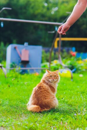 Lovely thoroughbred redhead kitten. Breed Kurilian Bobtail. Hypoallergeni of cats. eating shrimp at the man mistress.