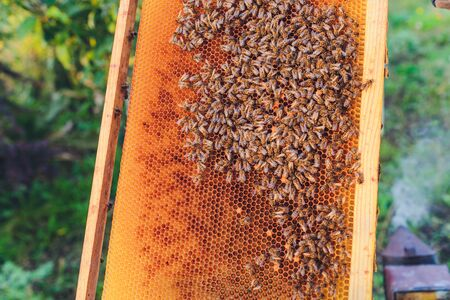 Frames of a bee hive. Beekeeper harvesting honey. The bee smoker is used to calm bees before frame removal. Beekeeper Inspecting Bee Hive. Standard-Bild - 131911815