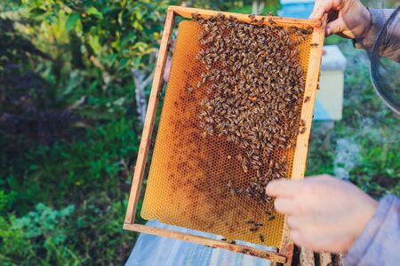 Frames of a bee hive. Beekeeper harvesting honey. The bee smoker is used to calm bees before frame removal. Beekeeper Inspecting Bee Hive. Standard-Bild - 131911818