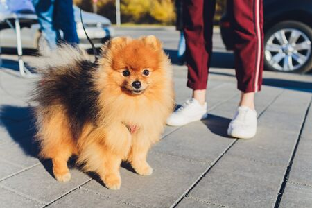 Cute friendly spitz dog walking in an autumn park