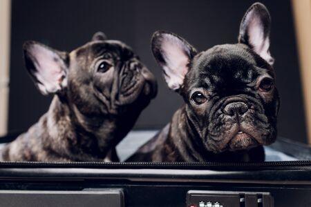 Franse bulldog zittend op de bagage klaar voor reizen.