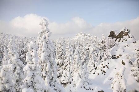 Brina invernale e abeti innevati sul fianco di una montagna Archivio Fotografico