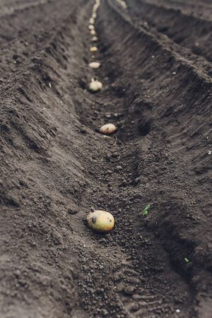 process of planting potato field in the vegetable garden, close up. Seed potatoes. 스톡 콘텐츠