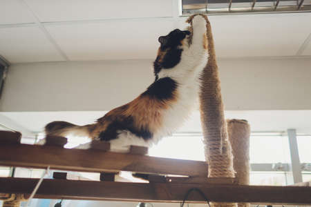 Domestic Cat using Scratching Post - Overhead, Landscape claw.