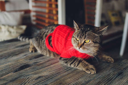 portrait of a tabby cat in Santa Claus costume, lying.