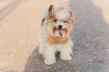 Australian Silky Terrier Outdoor Summer Portrait. Domestic Animal Theme. 免版税图像