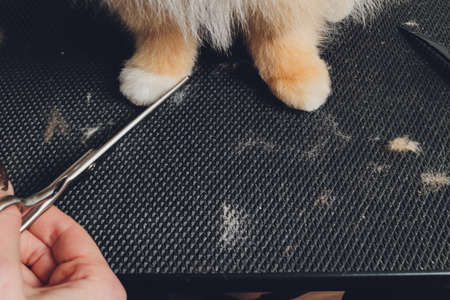 professional groomer trimming long-haried dog paws, animal foot care cuting fur. 免版税图像