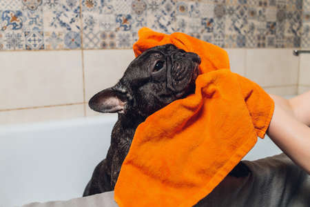 French bulldog at grooming salon having bath. Banco de Imagens