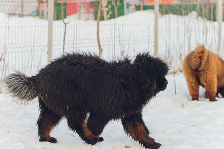 Bitch dog breed Tibetan Mastiff standing in the snow.