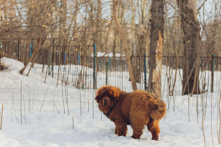 Portrait of a big red dog. The Tibetan Mastiff puppy - girl. The dog is, looking forward. Dog in snow. Stock Photo - 167227398
