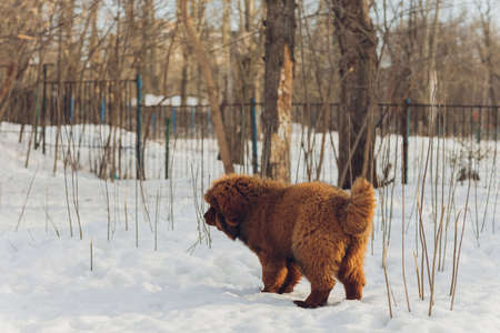 Portrait of a big red dog. The Tibetan Mastiff puppy - girl. The dog is, looking forward. Dog in snow. Stock Photo - 167227399