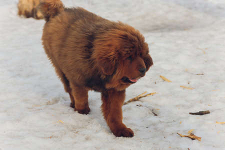 Portrait of a big red dog. The Tibetan Mastiff puppy - girl. The dog is, looking forward. Dog in snow. Stock Photo