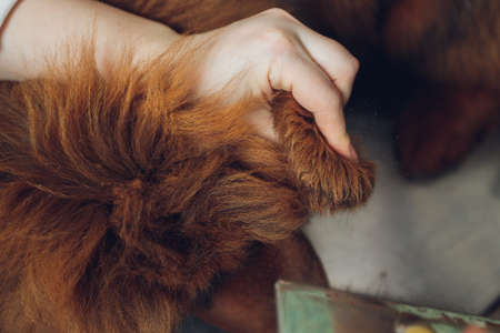 professional groomer comb the dogs paw, grooming dogs at veterinary clinic, take care of pedigree dogs.