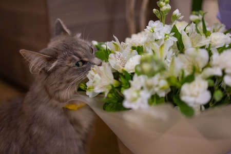 Cat sniffs a bouquet of fresh spring flowers with ranunculus at home. Cosy and tender postcard.