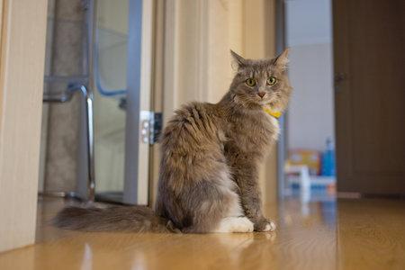 Korat domestic cat sitting on wood floor.