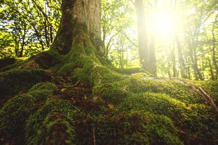 Tree moss roots and sunshine in a green forest. Mistic natural background Stock Photo