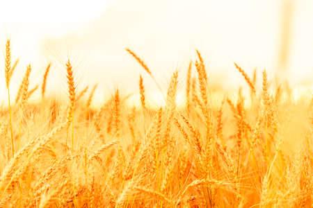 Wheat field. Ears of golden wheat closeup. Blurred background