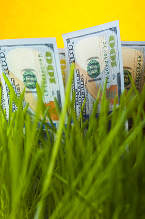 upgrowth: One hundred dollar bills among green grass. Stock Photo