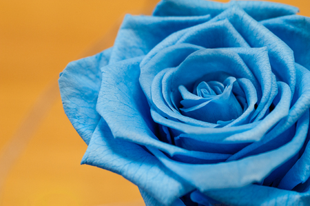 Close up of blue rose on yellow background Foto de archivo