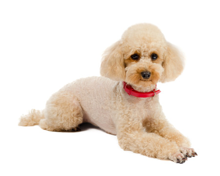 poodle: Dog Toy Poodle lying on a white background with a red collar  Stock Photo