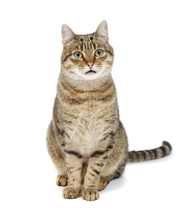 Tabby cat sitting on white background and spotrit forward. 版權商用圖片