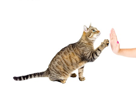 big five: Trained cat high five isolated on white background. Stock Photo