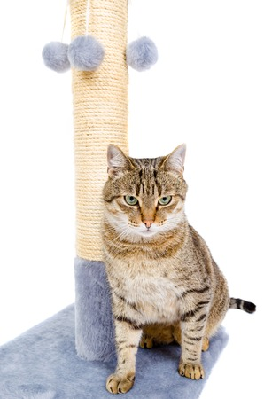 scratching: Beautiful cat with scratching post isolated on white background