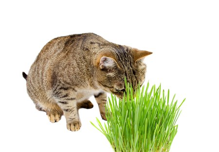 cat eating: The pet cat eating fresh grass, on a white background.