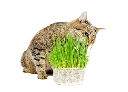 pets: The pet cat eating fresh grass, on a white background.