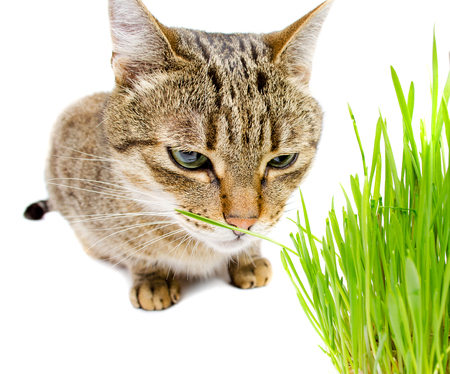 catnip: The pet cat eating fresh grass, on a white background.
