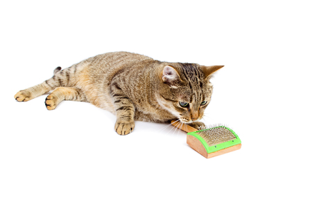 cat grooming: Cat self grooming on white background. Keeps comb paws Stock Photo