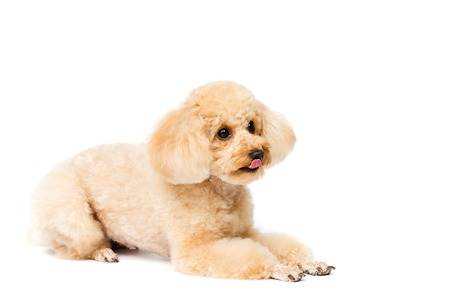 Apricot poodle lying and looking to the right puppy portrait on a white background