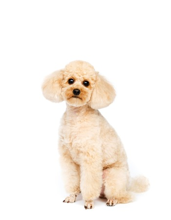 small dog: Apricot small poodle sitting on a white background. The dog is looking ahead.