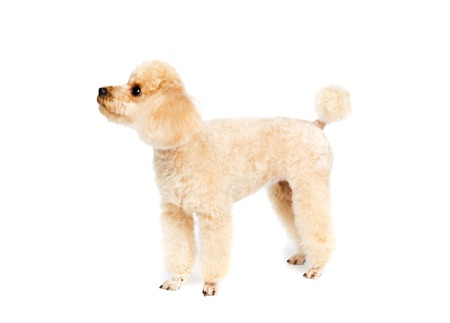 Peach small poodle is standing sideways on a white background. Фото со стока