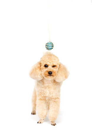 one eye closed: Toy poodle standing with one eye closed. Little dog on a white background. Stock Photo