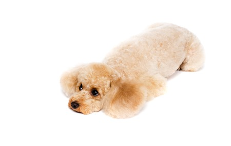 Peach toy poodle lying on white background with his head down.