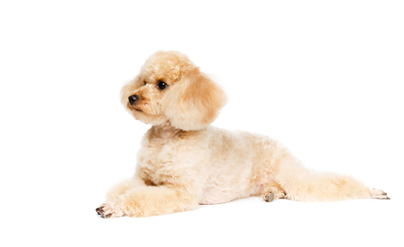 Poodle lying on a white background and looking to the side. Dog apricot. Archivio Fotografico