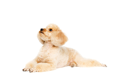 Poodle lying on a white background and looking at the top. Dog apricot.