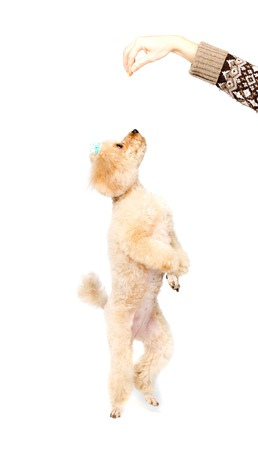 poodle: Apricot poodle standing on hind legs and looking up on a white background