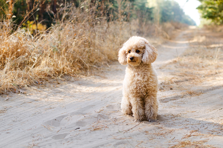 Small poodle sitting in the woods and wait for the owner. Archivio Fotografico